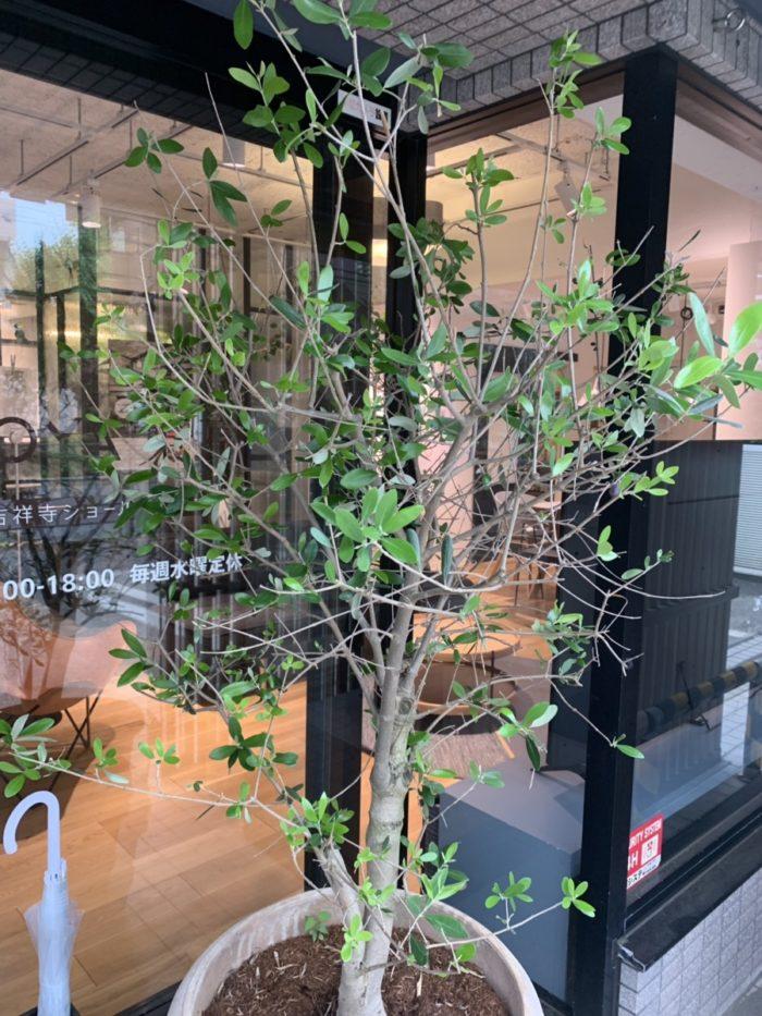 オリーブの木|吉祥寺・武蔵野市でリフォームするならONOYA東京 吉祥寺ショールーム